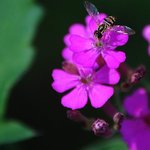 Surphid Fly