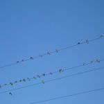 Swallows on the move