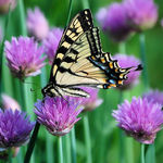 Swallowtail Butterfly