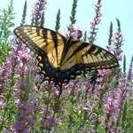 Swallowtail on purple flowers