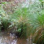 Swamp Grasses