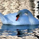 Swan in Silver Water