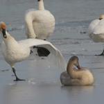 Unbalance Swan