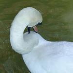 Swan preening - water droplets on its back