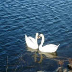 Swans In Love