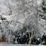 Swaying Snow Tree