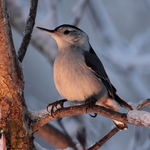 Sweet light Nuthatch