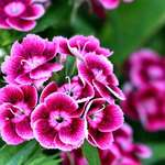 Sweet Williams - Dianthus