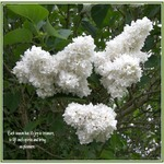 Syringa