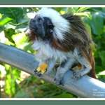 Tamarin monkey
