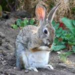 The Hammy Cottontail