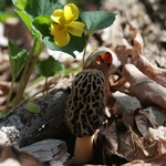 The Illusive Morel