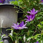 The Lamp with Clematis Blooms