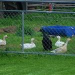 The Neighbours Ducks