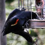 The Thief - Redwing Blackbird