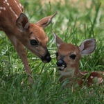 Fond of Fawns
