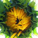 The jaws of a sunflower