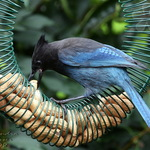 Thief in Blue - Steller's Jay