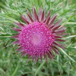 Thistle in colour