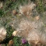 thistle gone to seed