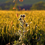 Thistle amongst the Wheat
