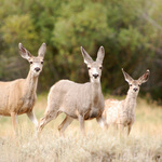Three Deer
