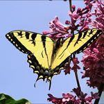 Tiger Swallowtail on Lilac #2