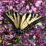 Tiger Swallowtail on Lilac June 2011