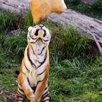 Tiger's Delight