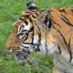 Tiger tiger burning bright ..
