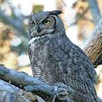 """I'm Quite Tired"" - wild great horned owl"