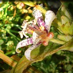 Toad Lily in my Garden