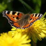 Tortoiseshell Butterfly