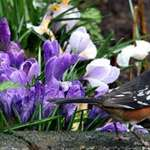 Towhee & Purple Crocus