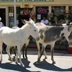 Oatman Burros