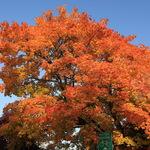 Maple Tree in Autumn Dress