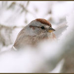 Tree Sparrow on a Snowy Branch