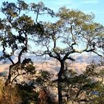 CalaverasTrees