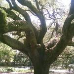 A Tree Grows in New Orleans