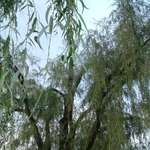weaping willow