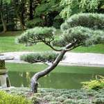 Bonsai typeTree & Lantern at Nitobe Gardens