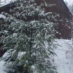 Snow covered Pine