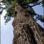 Stately Pine