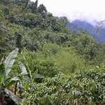 Wild banana & bamboo