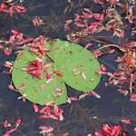 Maple Seeds on Lilypad