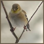 Goldfinch in a Triangle
