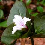 the first trillium