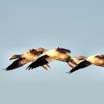 Trio of Snowgeese in Flight