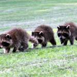 Triplet Raccoons