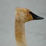 Trumpeter Swan1